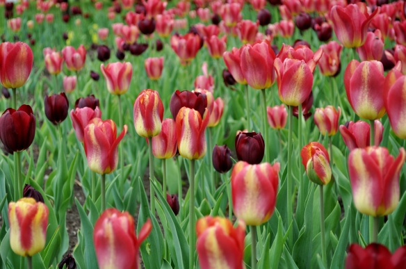 Ottawa in Tulip